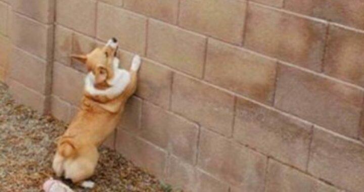 La cagnolina zola e la sua voglia si incontrare il suo vicino, diventano virali sul web