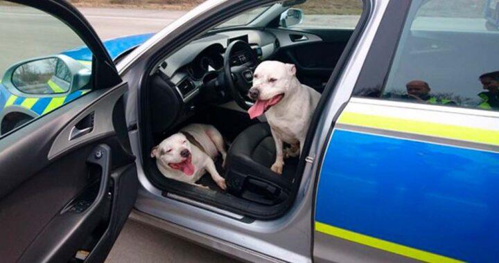 Cuccioli di Pit Bull scomparsi