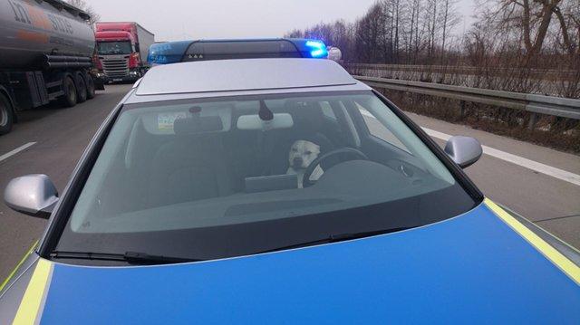 Cani sull'auto della polizia