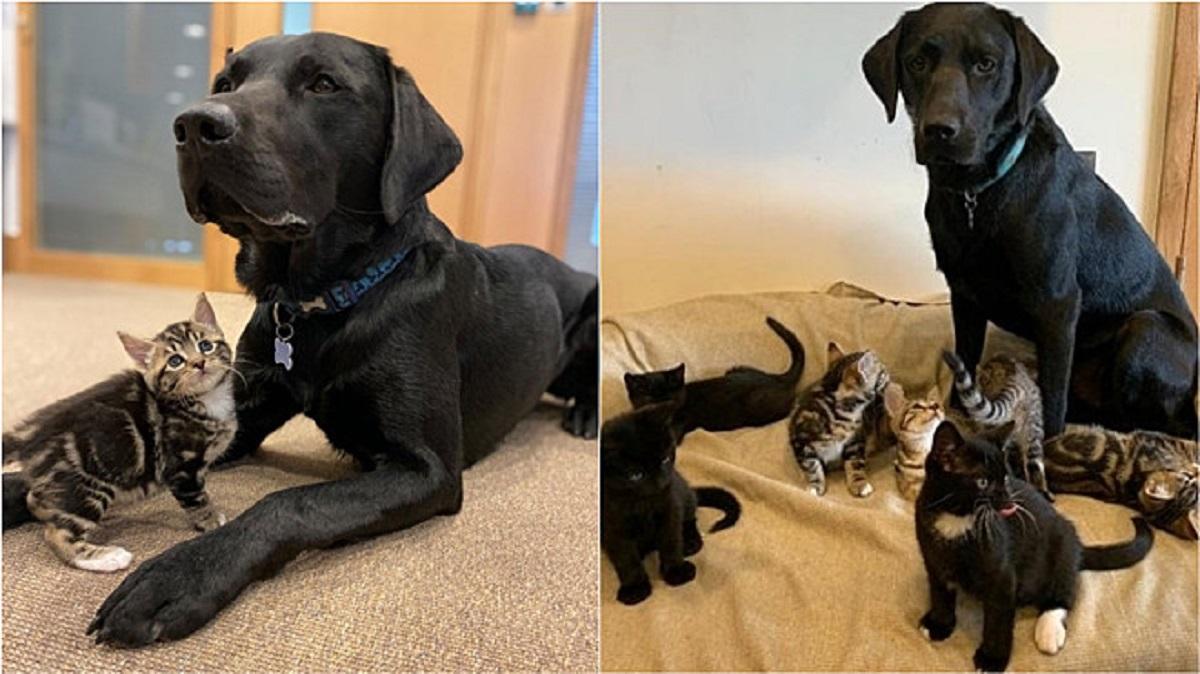 Labrador adottato alleva 7 gattini