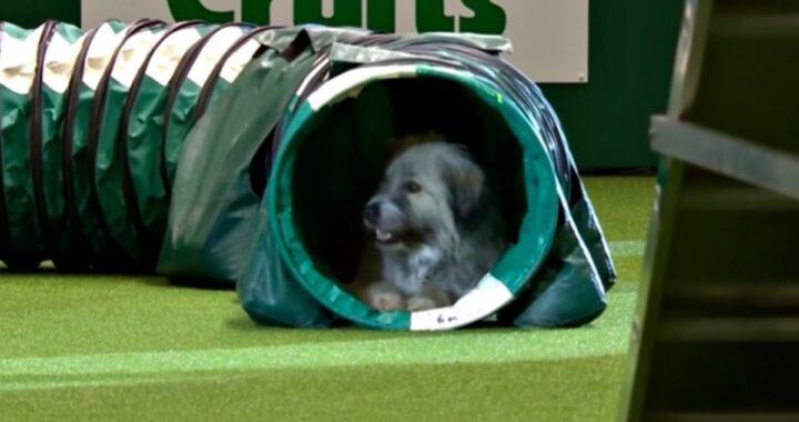 Kratu il cane che ha partecipato alla mostra canina, ma che non ha seguito lo schema degli altri