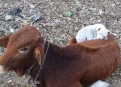 Le bellissime foto tra la mucca e il cane
