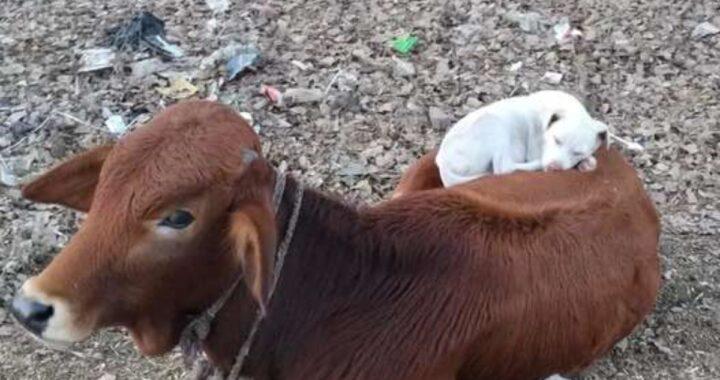 La bellissima scena di una mucca e un cane che decide si fare un pisolino sul suo dorso
