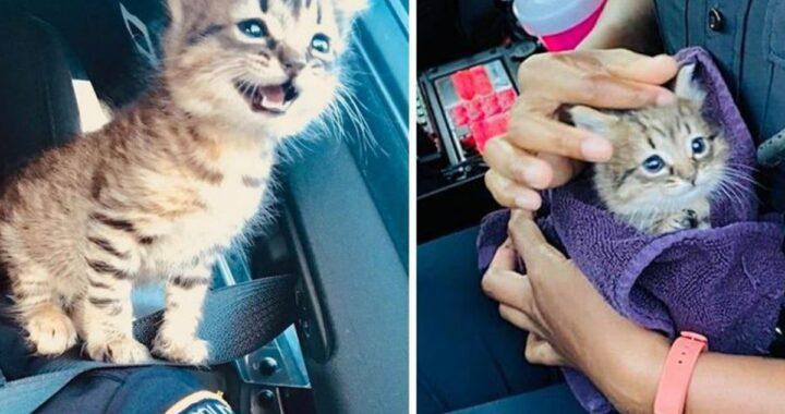 polizia gattino randagio
