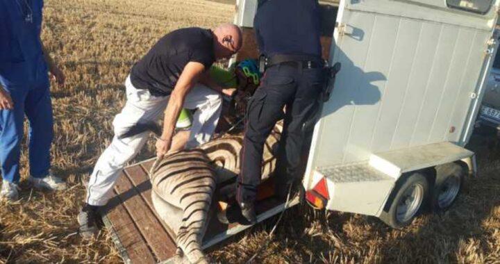Morta la zebra Achille