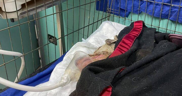 Tristezza sul web: è morto il cane Angelo, salvato dalle fiamme della Sardegna