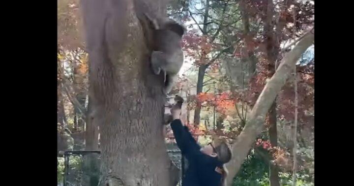 Cucciolo di koala si riunisce con la sua mamma