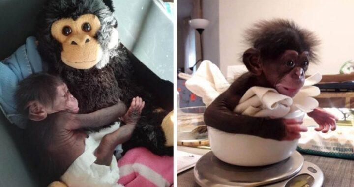Il cucciolo di scimpanzé Djibril