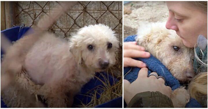 Volontari salvano il cane Patou da un allevamento di carne: le commoventi foto