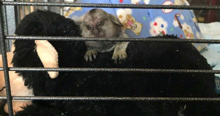 Il cucciolo di scimmia TikTok salvato da una piccola gabbia nel soggiorno di un appartemento