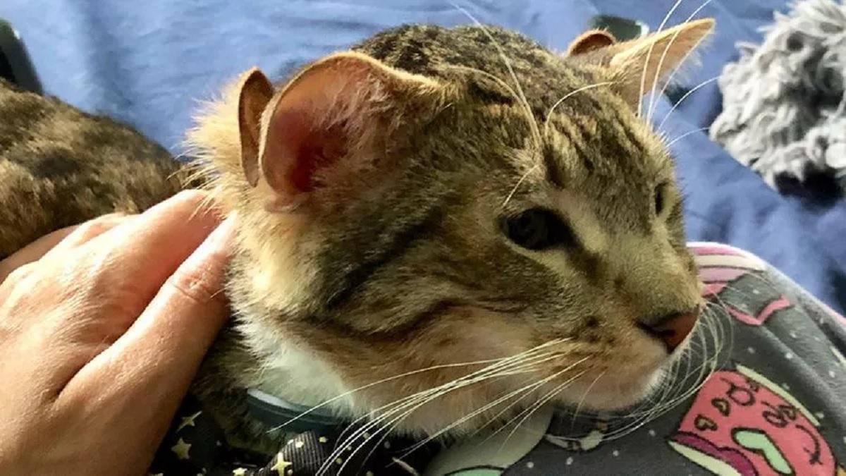 gatto nato con quattro orecchie