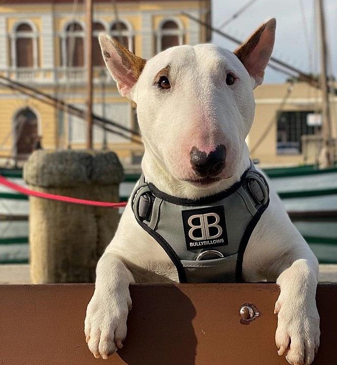 Sparky Bull Terrier