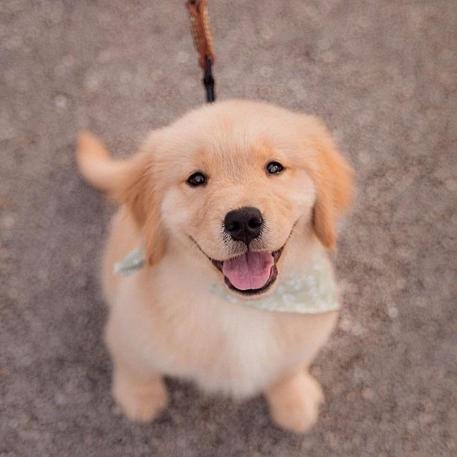 Golden Retriever Riley