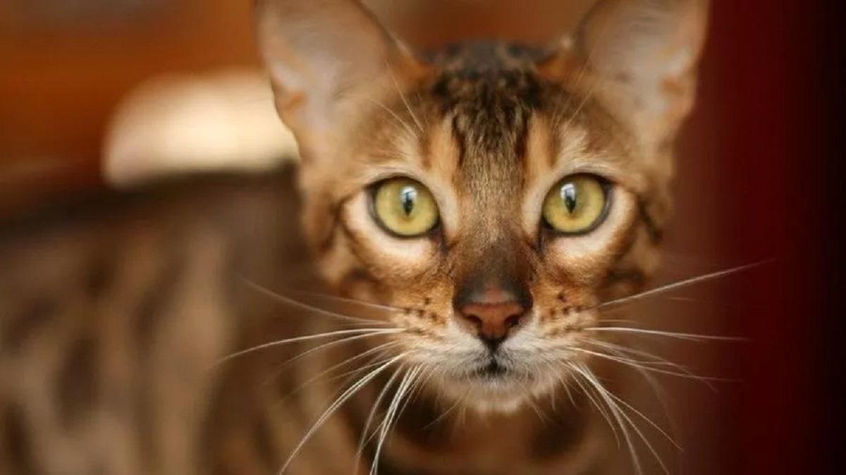 Gatto scomparso ritrovato