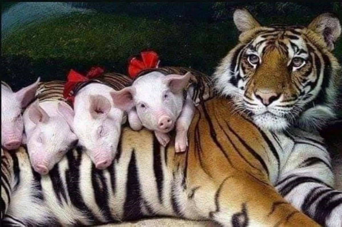 Le foto di mamma tigre e i maialini