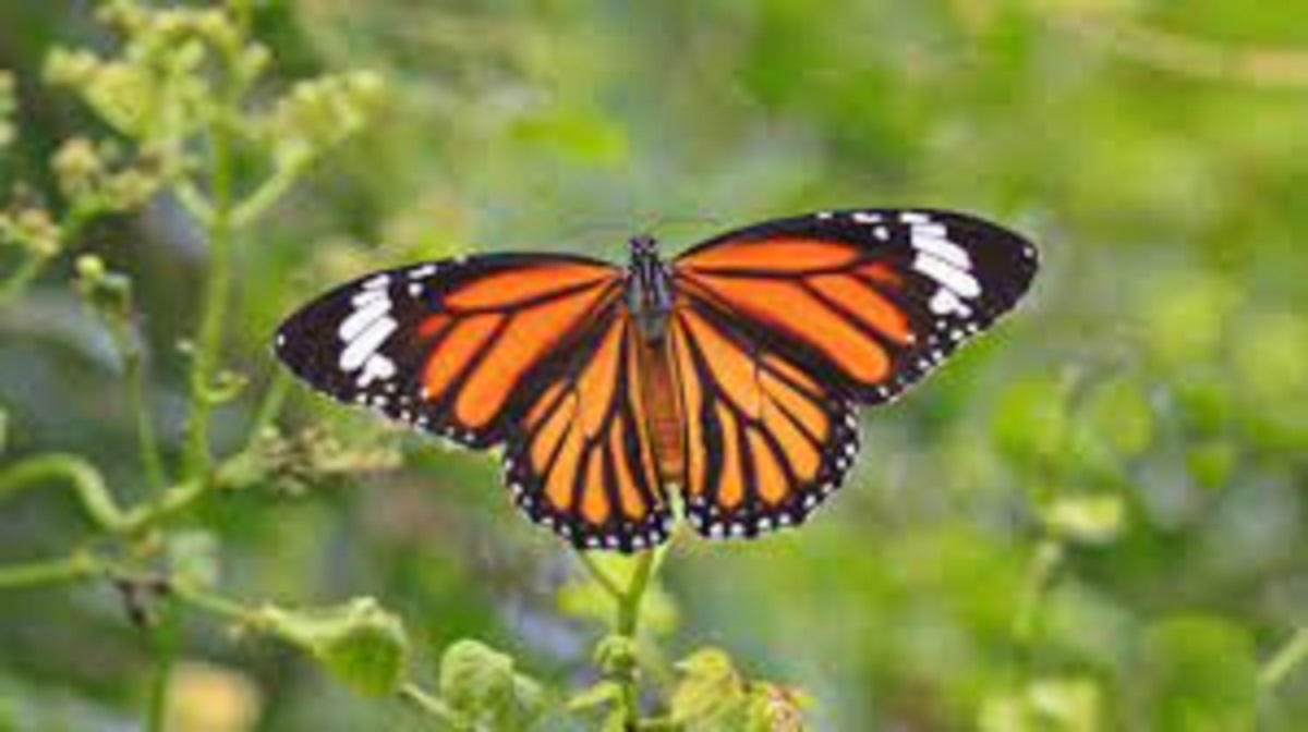 farfalla colorata