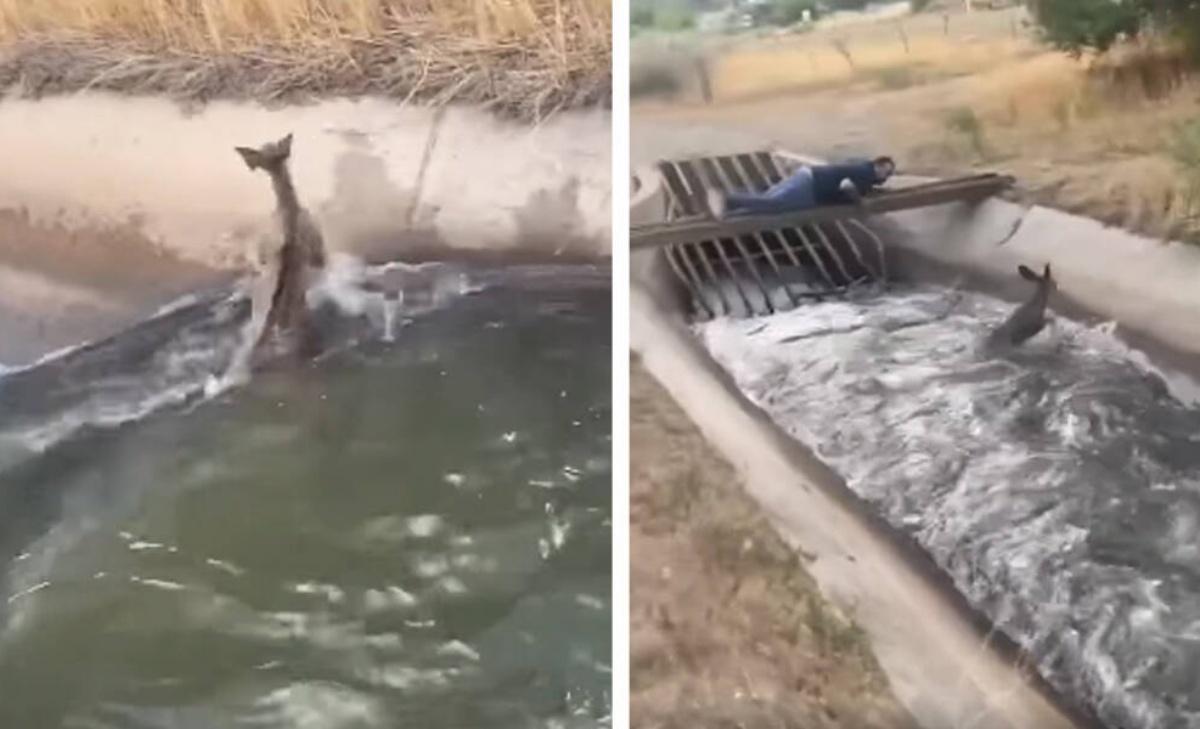 Il salvataggio di un cucciolo di cervo