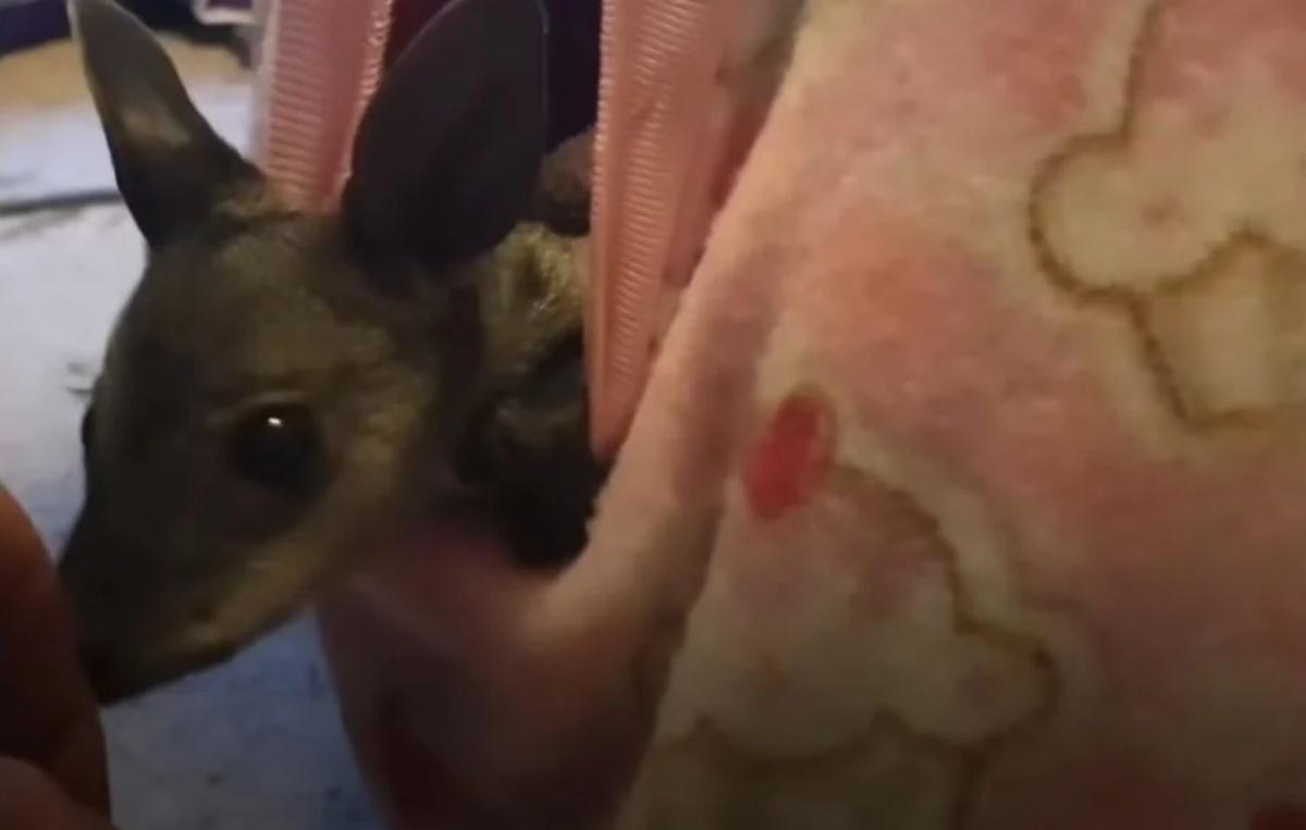Il salvataggio del cucciolo di canguro
