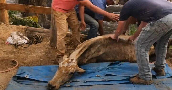 La storia della mucca Gaia, abbandonata in gravi condizioni