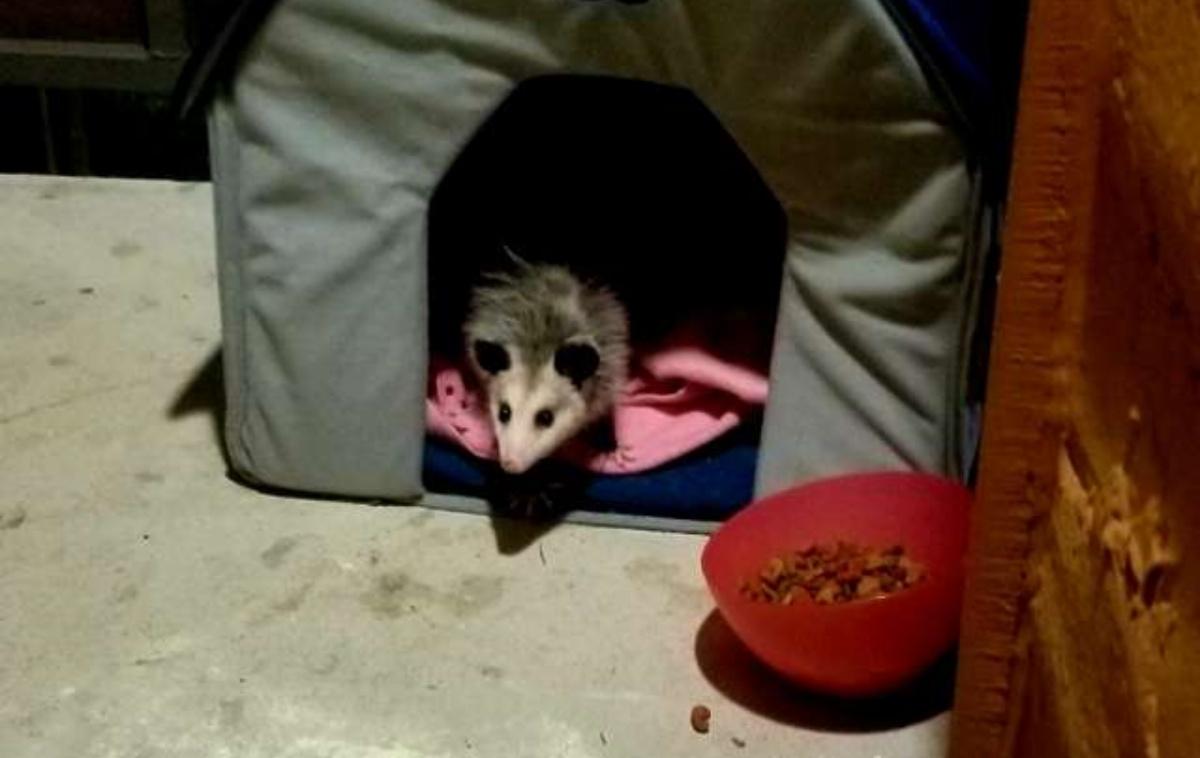 La storia di Loki, un opossum