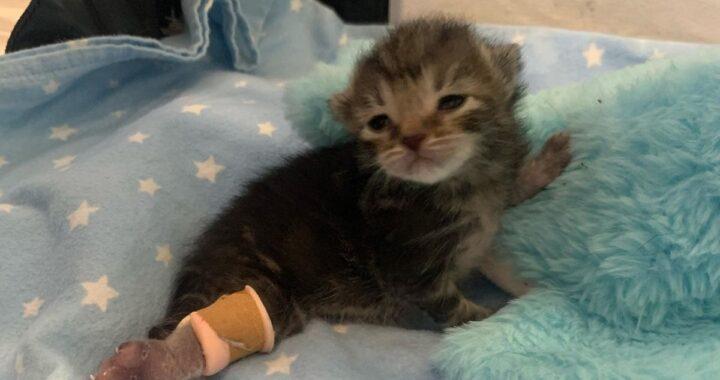 Peggy, la gattina sopravvissuta all'amputazione di una zampetta