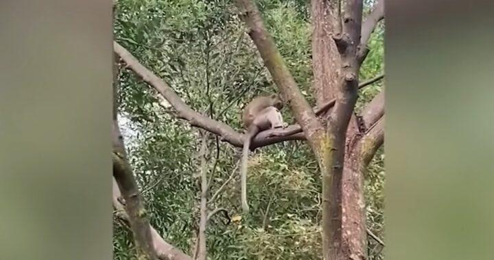 Saru rapito da un macaco