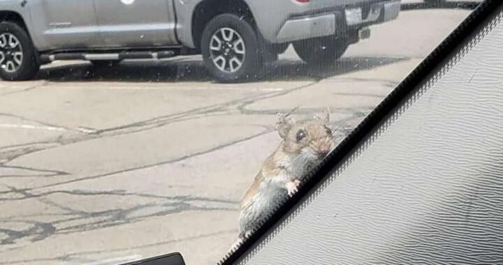 Topolino si intrufola nell'auto di una coppia e approfitta di un passaggio
