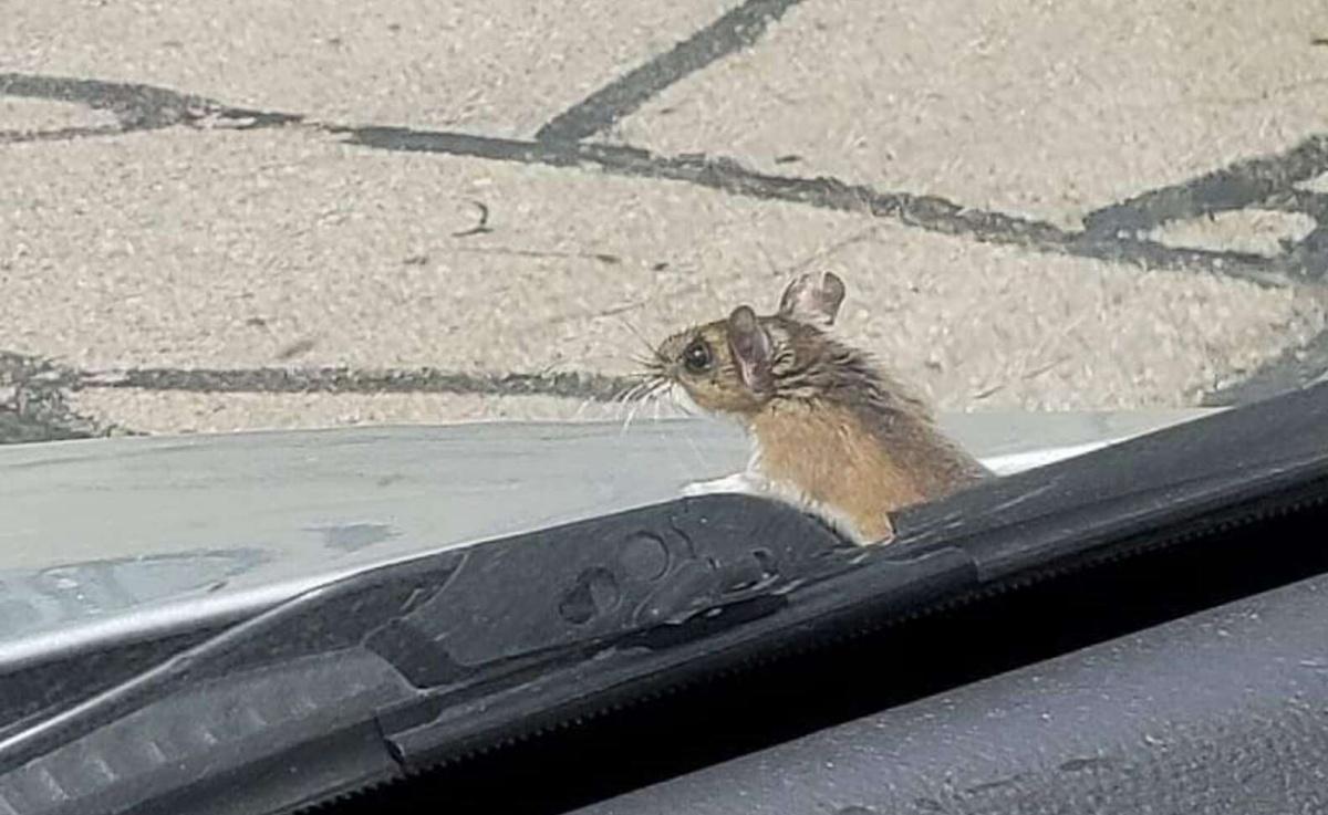 Coppia salva un topolino