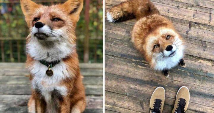 La storia della volpe Woody, salvata da un allevamento di pellicce