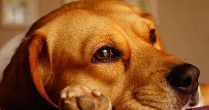 Esperimenti sui cuccioli di Beagle