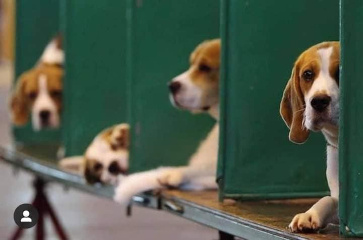 Beagle in gabbia
