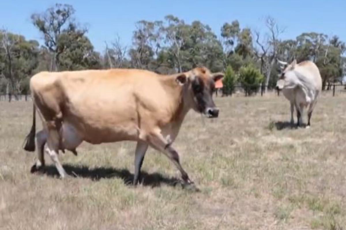 clarabella mucca