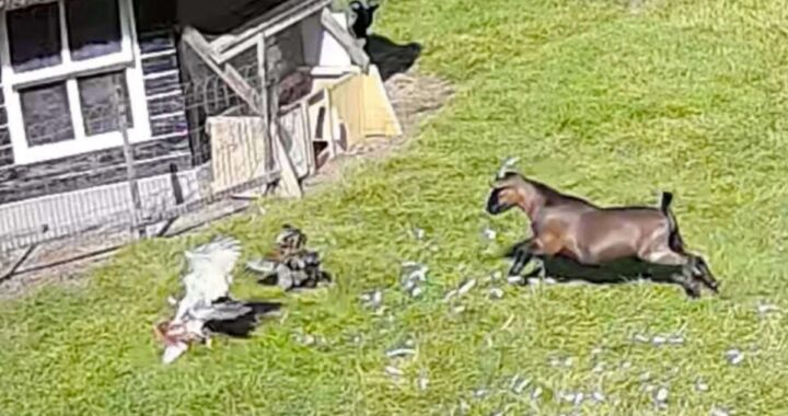 Gallina attaccata da un falco: salvata da una capra e un gallo suoi amici