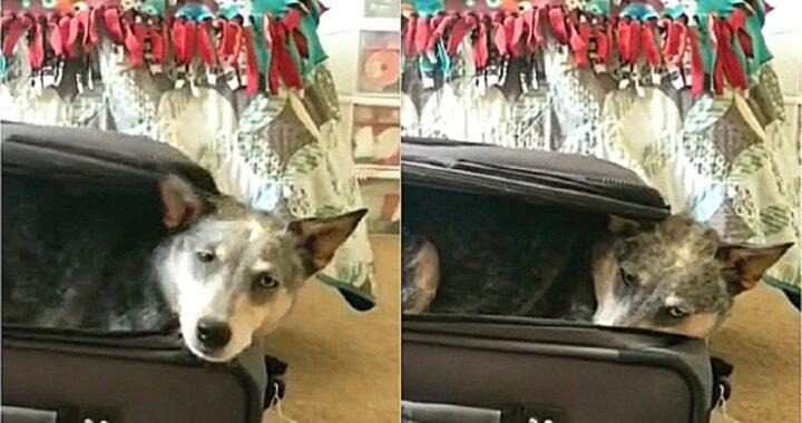 Il cane entra nella valigia per impedire al proprietario di partire