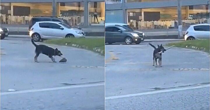 Il cane sorpreso con una zappa e sorprende i passanti