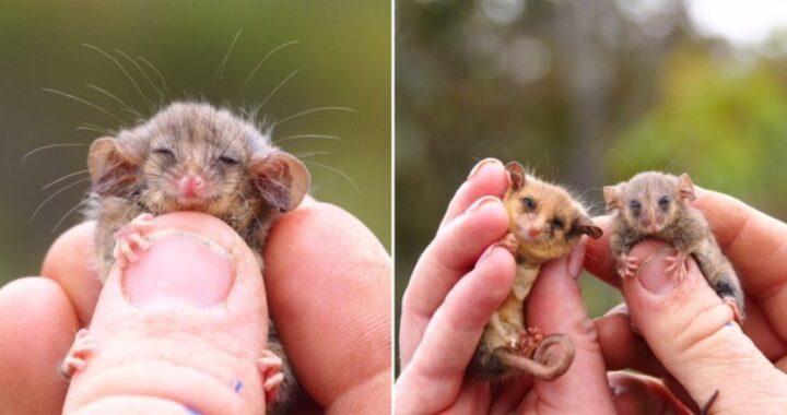 opossum pigmeo ritrovato in Australia