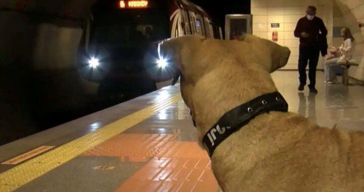 Boji, il cagnolino che vive sui mezzi pubblici di Istanbul