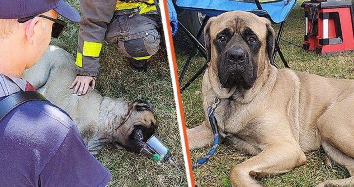 La storia del cane George, un mastino di 16 mesi salvato da un vigile del fuoco