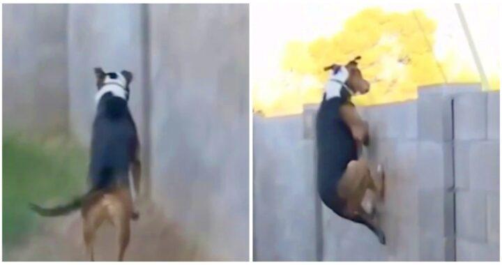 Il video del cane saltatore Max