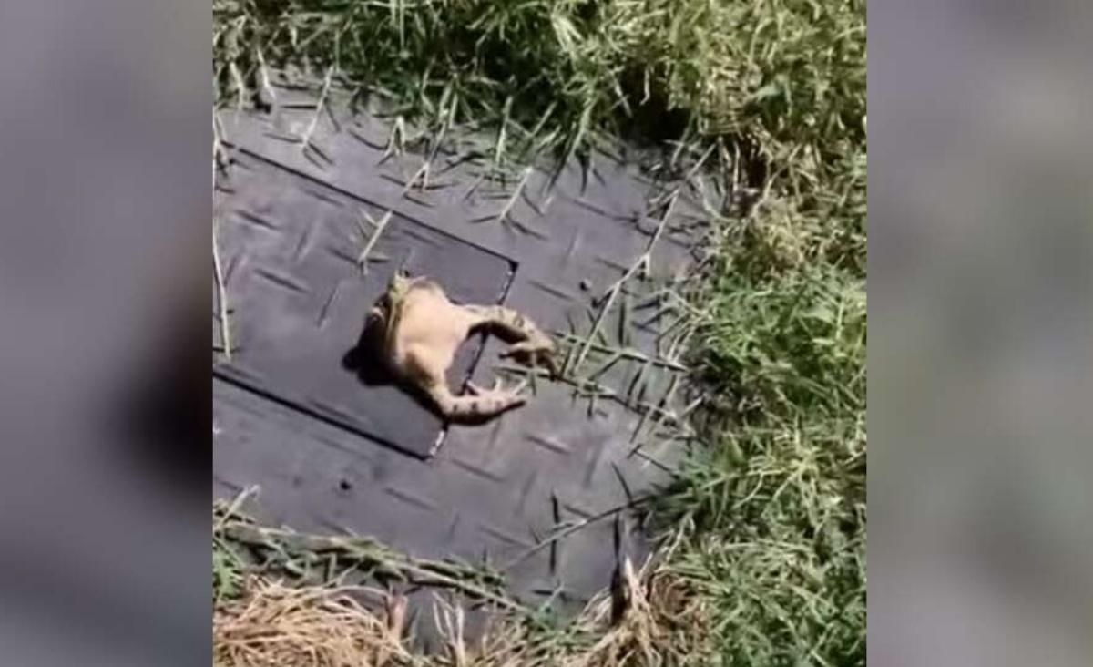 il salvataggio di una rana